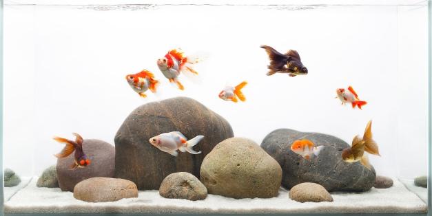 10_1aquarium_goldfish_fishtank